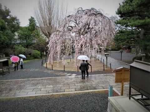 �傘と阿亀桜