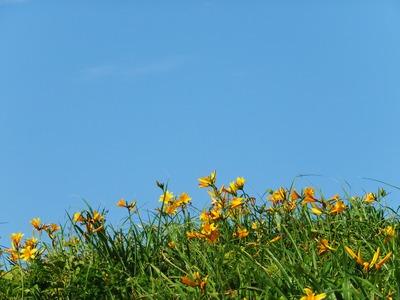 佐渡の空にトビシマカンゾウがよく似合う