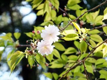 鎌足桜花弁