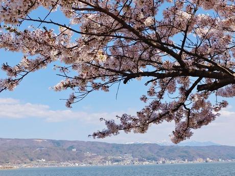 諏訪湖の満開の桜に遠くに八ヶ岳の頂きが
