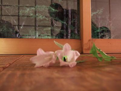 蛍袋の花弁に入る蛍