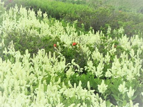 �コバイケイソウの群落の中にレンゲツツジの橙色