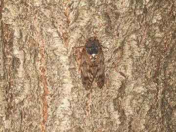 大樹に止まる鳴かぬ蝉