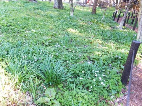 二輪草が群れ咲くなかにカタクリが・・・