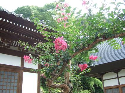 境内の百日紅の花