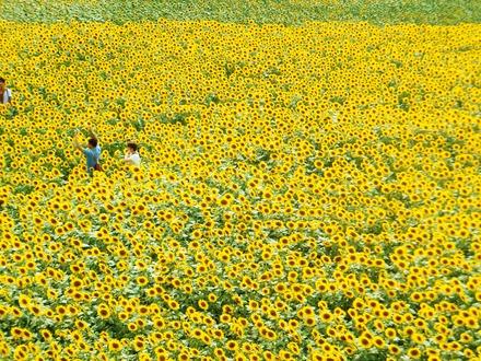 ひまわり畑で遊ぶ人