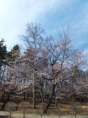 白樺と桜、新スポット