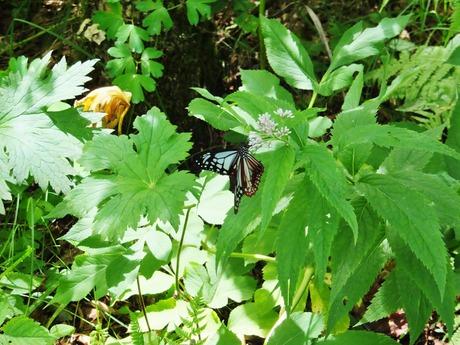 3・ヨツバヒヨドリの蜜を吸うアサギマダラ