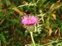 アザミに蜂と名も知れぬ虫