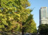 色づく皇居前銀杏並木