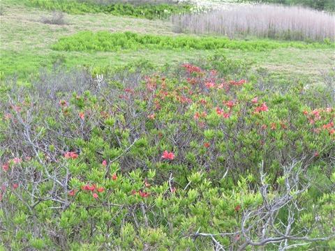�枯れ枝が多く花の付きが悪いレンゲツツジ