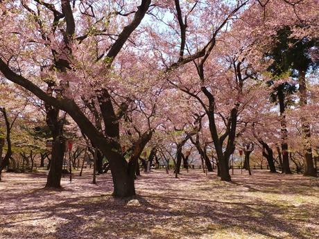 天地桜模様