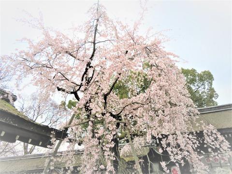 �満開の平野神社・魁桜