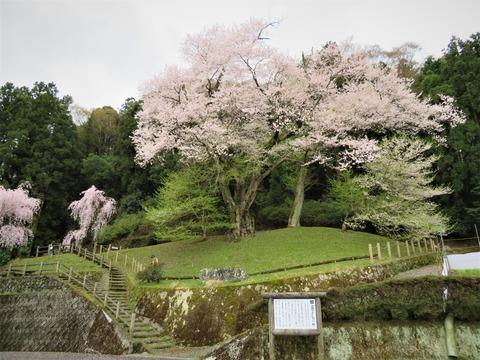 御所神社社前に立つ吉良のエドヒガン桜