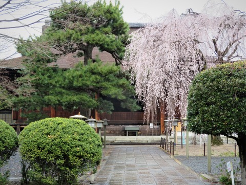 �阿亀桜と千本釈迦堂・本堂
