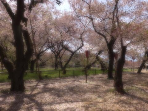 桜散り・・・