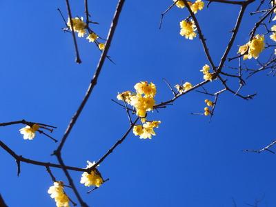 7・東蝋梅園の蝋梅