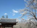 聖光寺の門と桜
