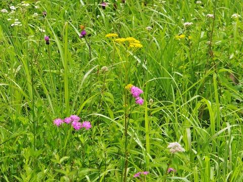 1・ナデシコ、オミナエシ、ノアザミ、ヨツバヒヨドリ お花畑