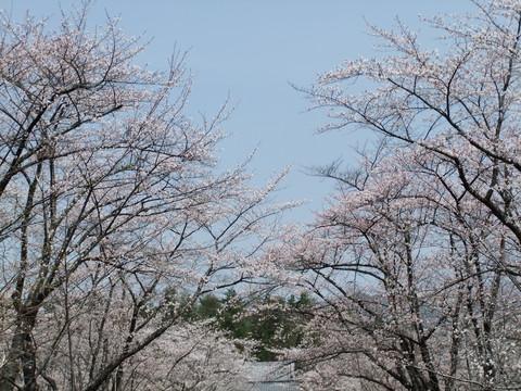 聖光寺の開花