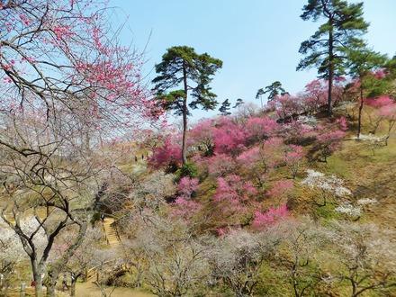 梅の公園の紅白梅に松