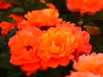薔薇の競演