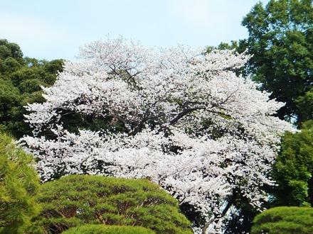 やっぱり満開の桜は素晴らしい