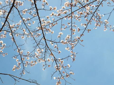 蓼科の空に桜の花はよく似合う