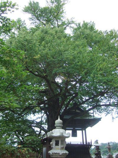 愛染桂の樹