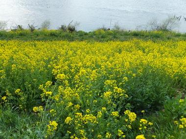 江戸川土手の菜の花