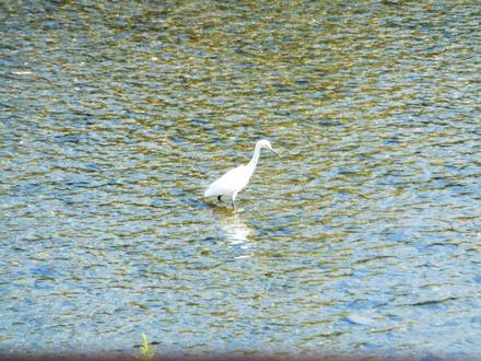 白鷺が鴨川に游ぶ