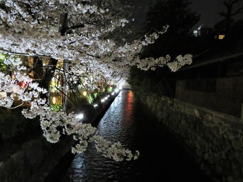 �木屋町通り 高瀬川沿いの夜桜