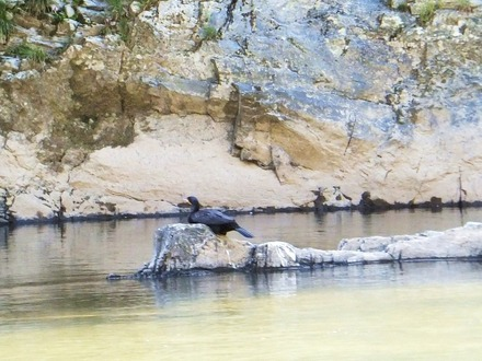 川鵜がいました