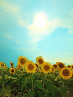 ひまわりと夏空