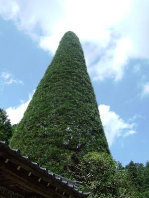 木曾五木の高野槇