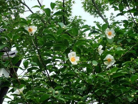 沙羅双樹の花が咲く