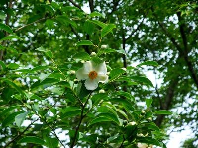 沙羅双樹花弁