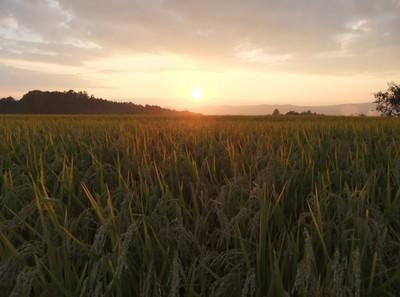 稲穂に夕日