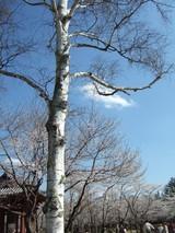 聖光寺の白樺と桜