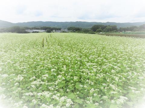 蕎麦畑の白い花