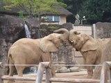 じゃれ合う象たち
