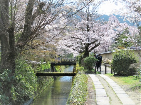 哲学の小径 満開の桜が