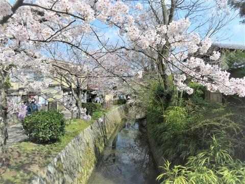 疎水の満開の桜