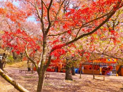 桜のなかに赤枝垂れのモミジが・・・