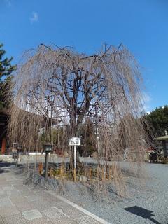 2012.3.13 千本釈迦堂の阿亀桜
