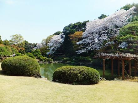 日本庭園に咲く桜