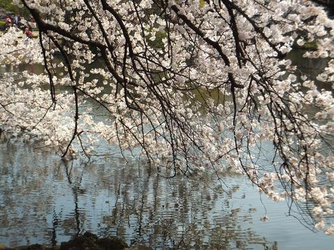 水面に垂れる桜花