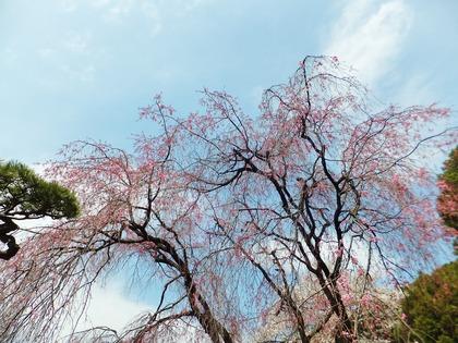 枝垂れ桜はこれから満開