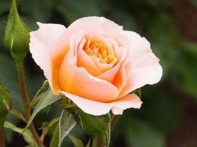 薔薇らしい薔薇