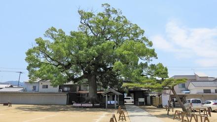 0・長尾寺の大楠